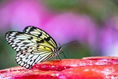 Beautiful black, white and yellow tropical butterfly. Tree Nymph butterfly on colorful background. Spring summer concept Stock Photos