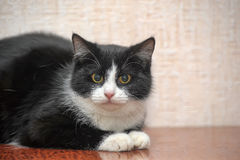 Beautiful black and white young cat Stock Image