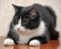 Beautiful black and white young cat Royalty Free Stock Photo