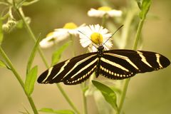 Beautiful Black and White Zebra Butterfly on a Leaf stock images