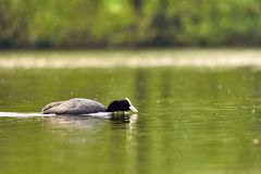 A beautiful black wild duck floating on the surface of a pond Fulica atra, Fulica previous Royalty Free Stock Photo