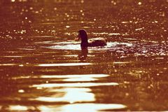 A beautiful black wild duck floating on the surface of a pond Fulica atra, Fulica previous Royalty Free Stock Images