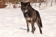 Beautiful black wolf Stock Photo