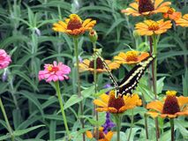 Beautiful black and yellow butterfly perching on the colorful zinnias in the spring garden. 