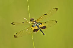 Beautiful black and yellow wings of a dragonfly Stock Image