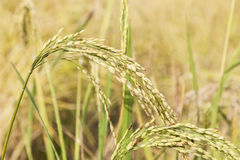 Beautiful Blade of Nepalese rice fields. Royalty Free Stock Photos
