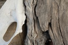 Bone And Driftwood royalty free stock images