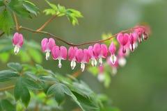 Free Beautiful Bleeding Heart Flowers Stock Photo - 144600750