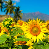 Beautiful bloming field of sunflower background with blue sky an Stock Images