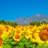 Beautiful bloming field of sunflower background with blue sky Royalty Free Stock Photo