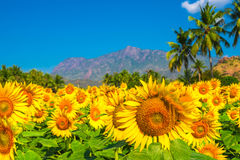 Beautiful bloming field of sunflower background with blue sky, p Royalty Free Stock Photos