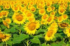 Beautiful bloming field of sunflower background Stock Photo