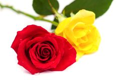 Beautiful blomming red and yellow  rose. Royalty Free Stock Photos