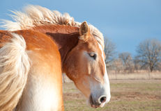 Beautiful blond Belgian Draft horse Stock Images