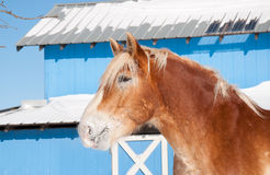 Beautiful blond Belgian Draft horse Stock Photos