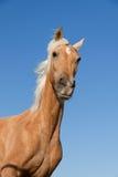 Beautiful blond cruzado horse outside horse ranch Stock Image