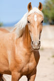 Beautiful blond cruzado horse outside horse ranch field Royalty Free Stock Photography