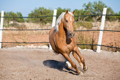 Beautiful blond cruzado horse outside horse ranch field Stock Images