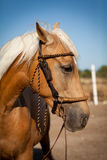 Beautiful blond cruzado horse outside horse ranch field Royalty Free Stock Photos