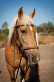 Beautiful blond cruzado horse outside horse ranch field Stock Image