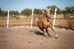 Beautiful blond cruzado horse outside horse ranch field Royalty Free Stock Photos