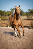 Beautiful blond cruzado horse outside horse ranch field Royalty Free Stock Image