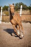 Beautiful blond cruzado horse outside horse ranch field Royalty Free Stock Photo