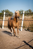 Beautiful blond cruzado horse outside horse ranch field Stock Photography
