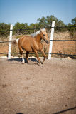 Beautiful blond cruzado horse outside horse ranch field Royalty Free Stock Images