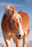 Beautiful blonde Belgian draft horse Stock Images