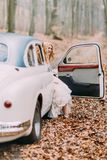 Beautiful blonde bride in white vintage car. Autumn forest on background.  Royalty Free Stock Photo