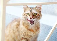 Beautiful blonde cat with open mouth and the tongue out Stock Photography