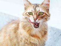 Beautiful blonde cat with open mouth and the tongue out Stock Image