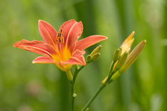 The beautiful bloom. Beautiful, abundant and long blooming daylily in the garden Stock Images