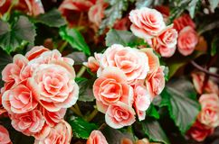 Beautiful, Bloom, Blooming, Blossom Royalty Free Stock Image