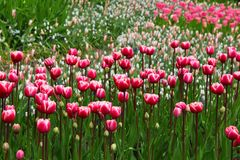 Beautiful, Bloom, Blossom, Pink Royalty Free Stock Photo
