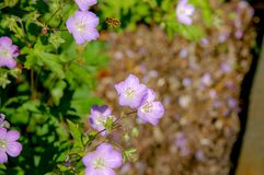 Geranium wilfordii with pink color. Beautiful bloom flower name Geranium wilfordii with purple pastel colour stock photos