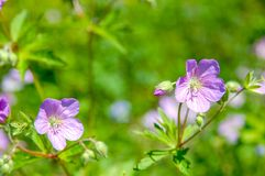 Geranium wilfordii with pink color. Beautiful bloom flower name Geranium wilfordii with purple pastel colour stock photo