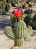 Beautiful bloom of the hedgehog cactus Royalty Free Stock Images
