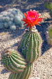 Beautiful bloom of the hedgehog cactus Royalty Free Stock Photography