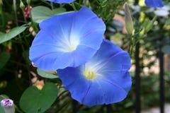 Beautiful bloom ipomoea royalty free stock image