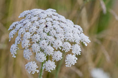Beautiful Bloom of Queen Anne's Lace. Beautiful Queen Anne's Lace bloom on a hot summer's day Royalty Free Stock Image