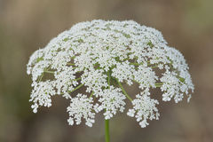 Beautiful Bloom of Queen Anne's Lace. Beautiful Queen Anne's Lace bloom on a hot summer's day Royalty Free Stock Images