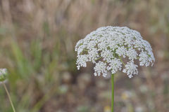 Beautiful Bloom of Queen Anne's Lace. Beautiful Queen Anne's Lace bloom on a hot summer's day Stock Images