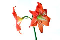 Beautiful bloom of red amaryllis flower Royalty Free Stock Images
