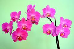 Beautiful bloom of red fresh orchid flower Royalty Free Stock Photo