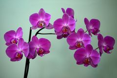 Beautiful bloom of red fresh orchid flower Royalty Free Stock Images
