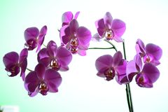 Beautiful bloom of red fresh orchid flower Stock Photography