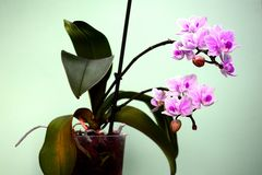Beautiful bloom of red fresh orchid flower Stock Images