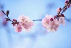 Beautiful bloom of sakura Stock Photography